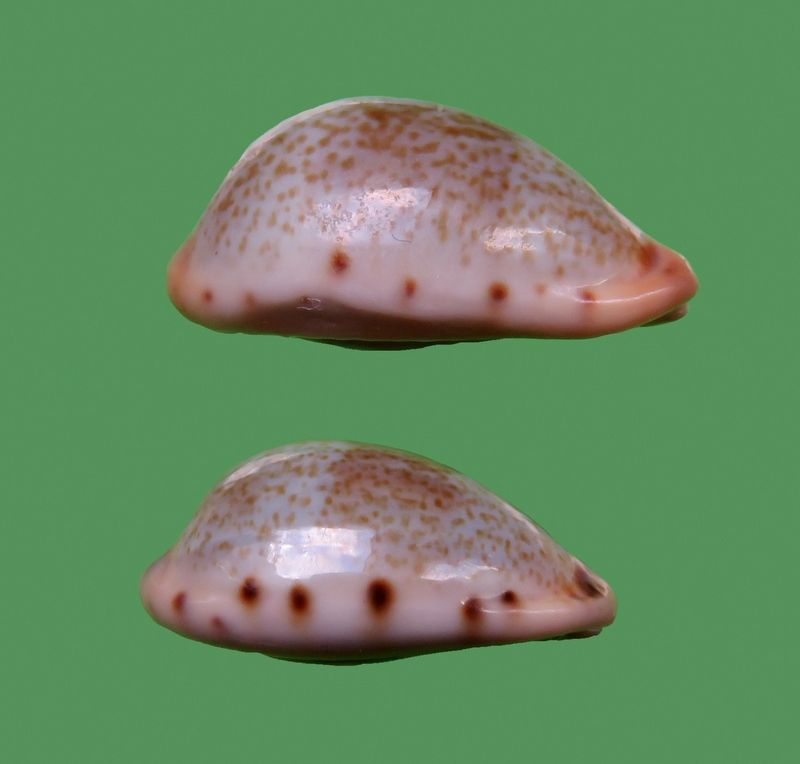 Erronea xanthodon - (J.E. Gray in G. B. Sowerby I, 1832) Cf_fer10