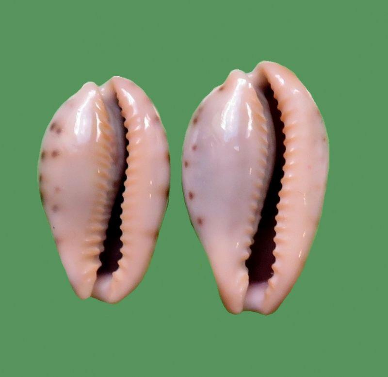 Erronea xanthodon - (J.E. Gray in G. B. Sowerby I, 1832) Cf_fer12