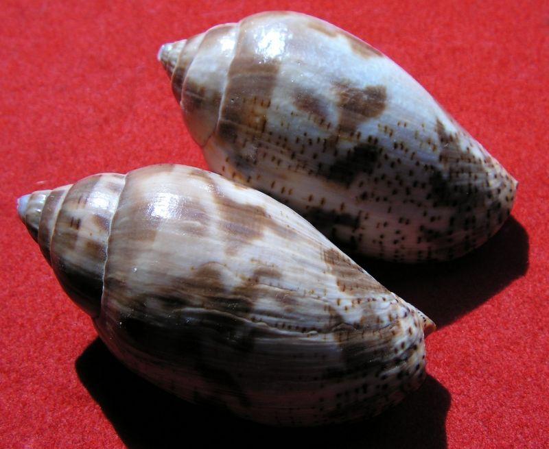 Harpulina lapponica - (Linnaeus, 1767) Harlap10