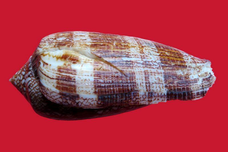 Conus (Cylinder) textile   Linnaeus, 1758 - Page 8 Img_1612
