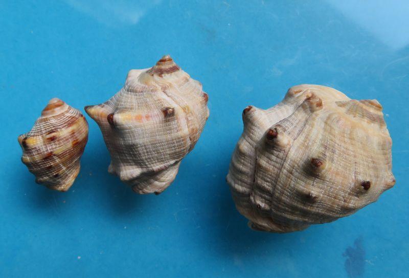 Purpura bufo - Lamarck, 1822 Img_3410