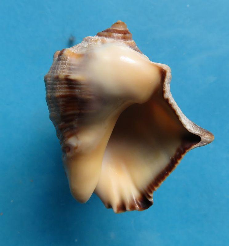 Purpura bufo - Lamarck, 1822 Img_3411