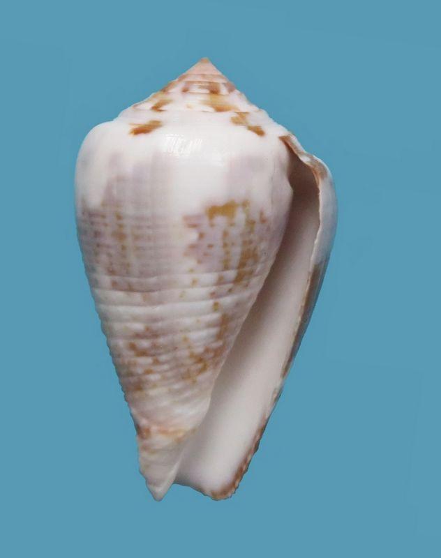 Conus (Pionoconus) catus   Hwass in Bruguière, 1792 - Page 5 Img_9010