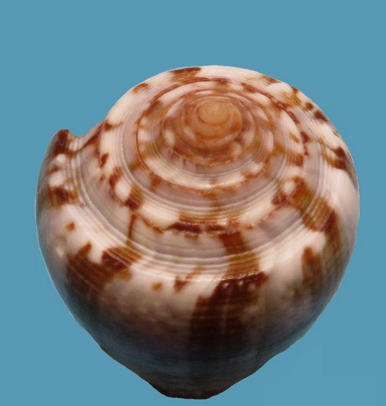 Conus (Pionoconus) catus   Hwass in Bruguière, 1792 - Page 5 Img_9014