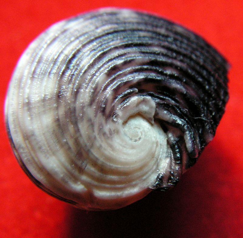 Nerita planospira (Anton, 1838 ) Neripl10