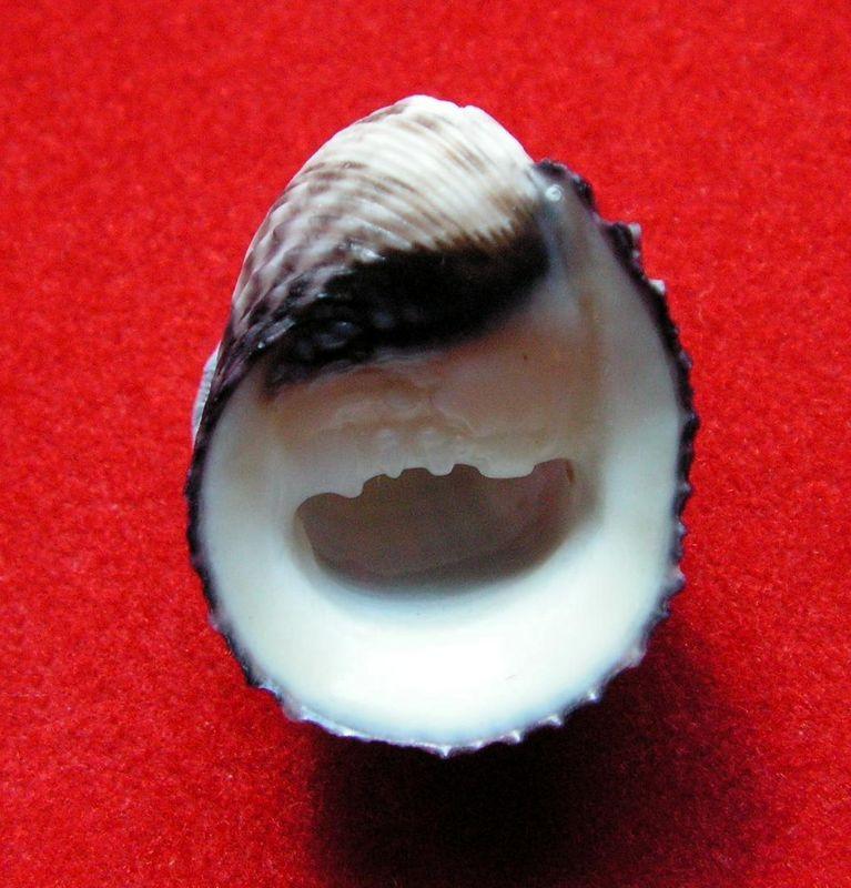 Nerita planospira (Anton, 1838 ) Neripl12