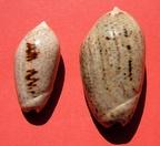 Americoliva incrassata (Lightfoot in Solander, 1786) Olincr10