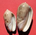 Americoliva incrassata (Lightfoot in Solander, 1786) Olincr12