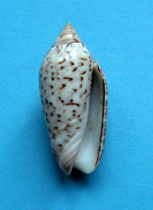 Americoliva spicata spicata (Röding, 1798) - Worms = Oliva spicata (Röding, 1798) Olispi10