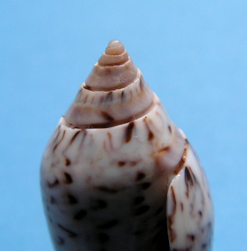 Americoliva spicata spicata (Röding, 1798) - Worms = Oliva spicata (Röding, 1798) Olispi12