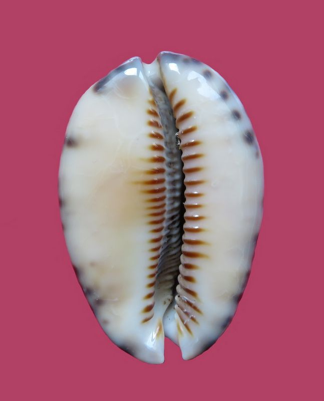 Mauritia arabica var aikae (Lorenz, 2017) P_arab31
