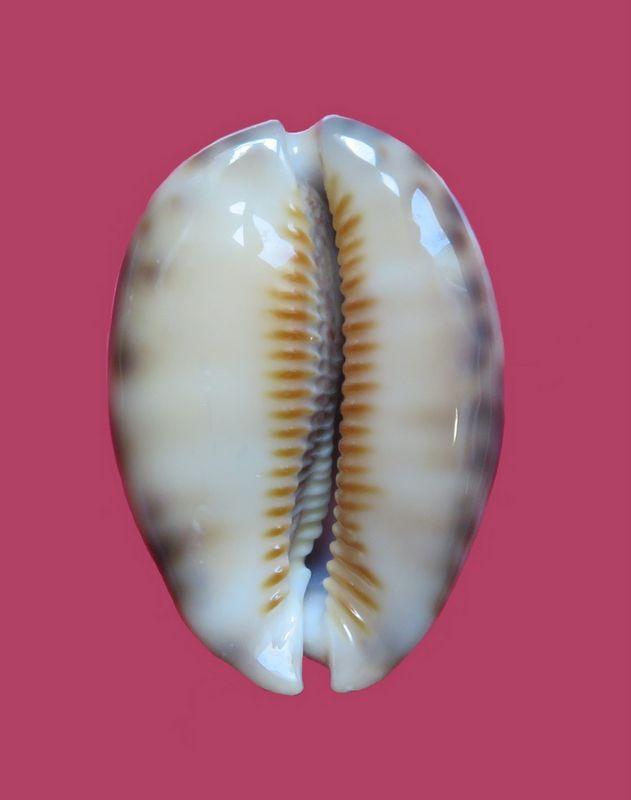 Mauritia arabica var aikae (Lorenz, 2017) P_arab34