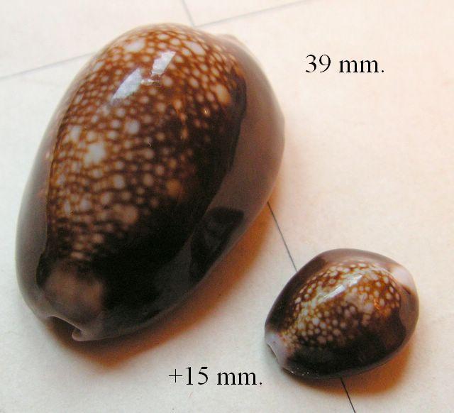 Monetaria caputserpentis - (Linnaeus, 1758) P_caps12