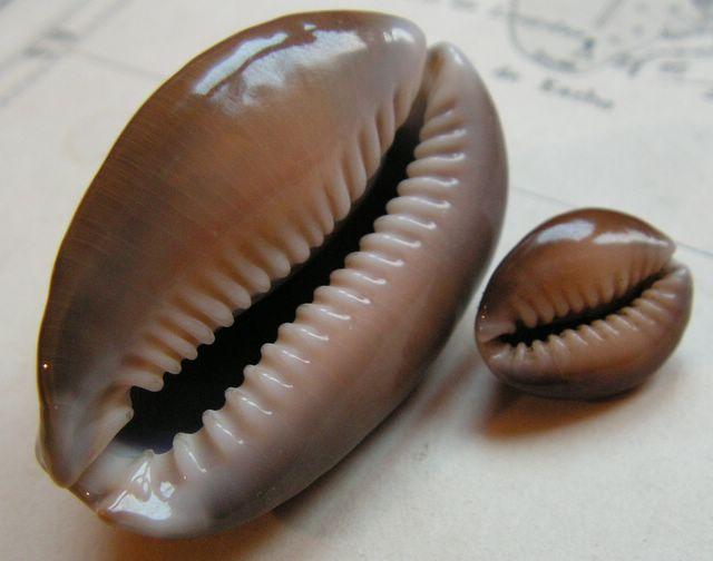 Monetaria caputserpentis - (Linnaeus, 1758) P_caps13