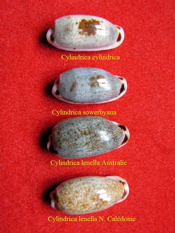 Erronea cylindrica lenella - Iredale, 1939 - Page 2 P_cyli11