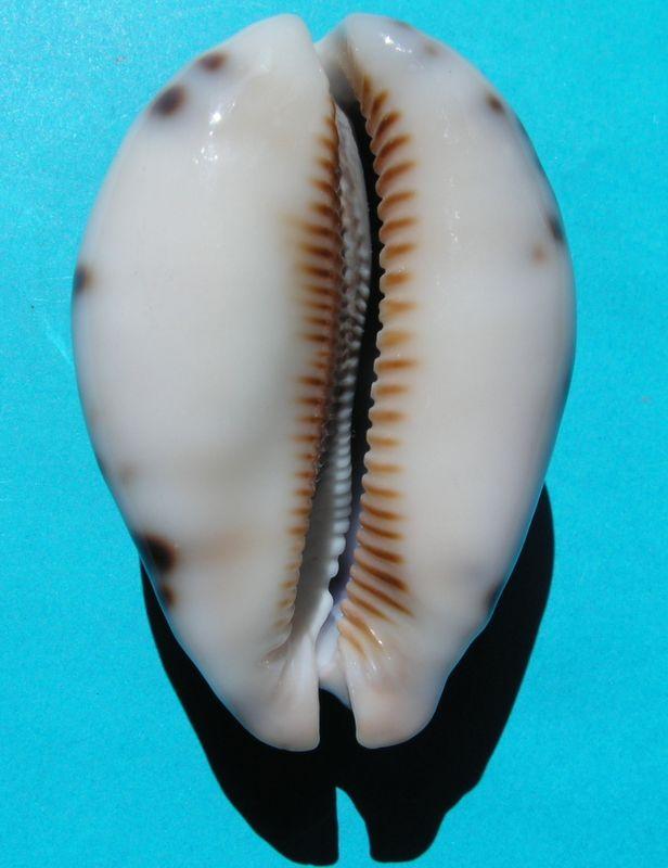 Mauritia histrio f. westralis - (Iredale, 1935) P_hist17