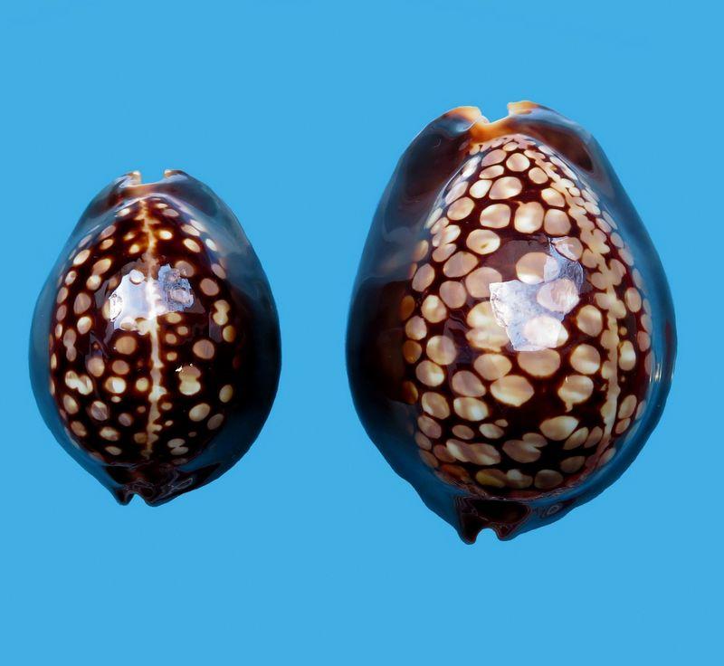 Mauritia mauritiana albiflora - (Petrbok, 1932)  - Page 2 P_maur10