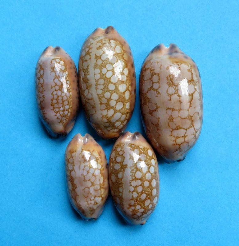 Mauritia scurra mundula - Lorenz, 2002  voir  Mauritia scurra scurra - (Gmelin, 1791) P_scur11