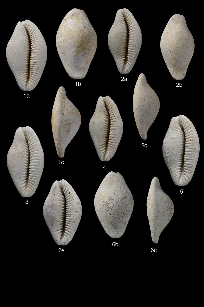 Cypraea fossile a identifier? Planch10