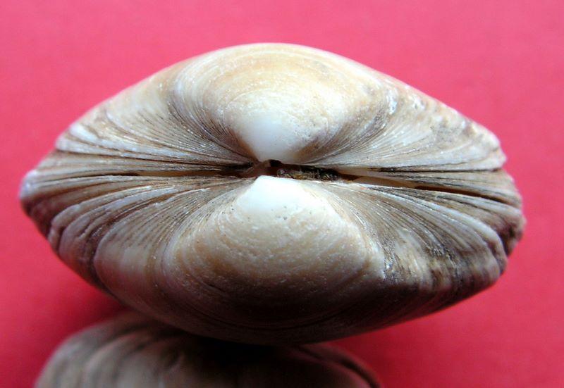 Spisula solida - (Linnaeus, 1758)  Spisol12