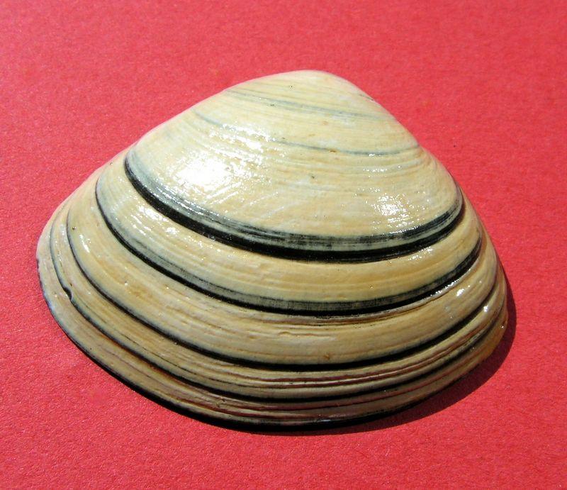 Spisula solida - (Linnaeus, 1758)  Spisol15
