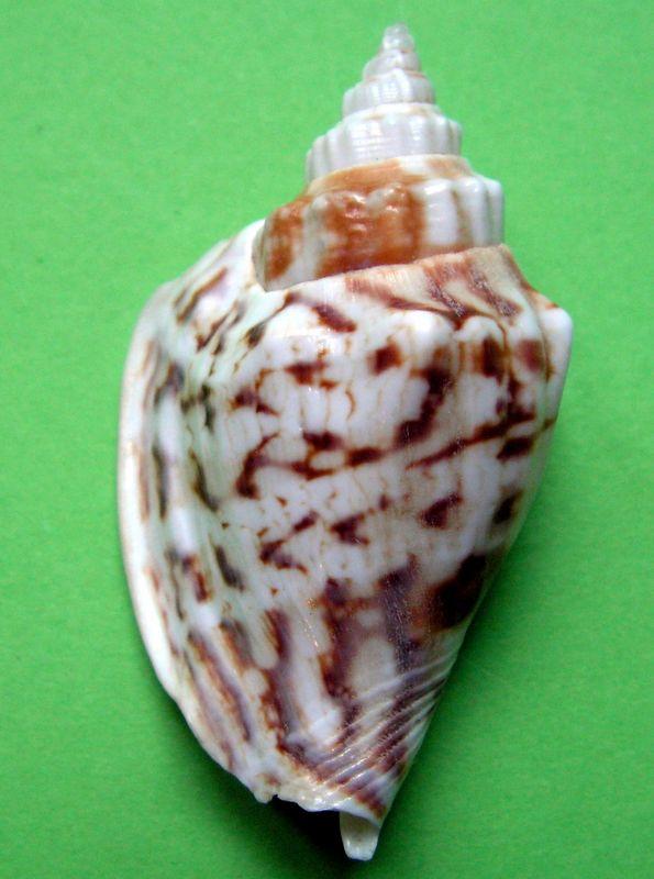 Strombidae Ministrombus variabilis (Swainson, 1820) Strvar12