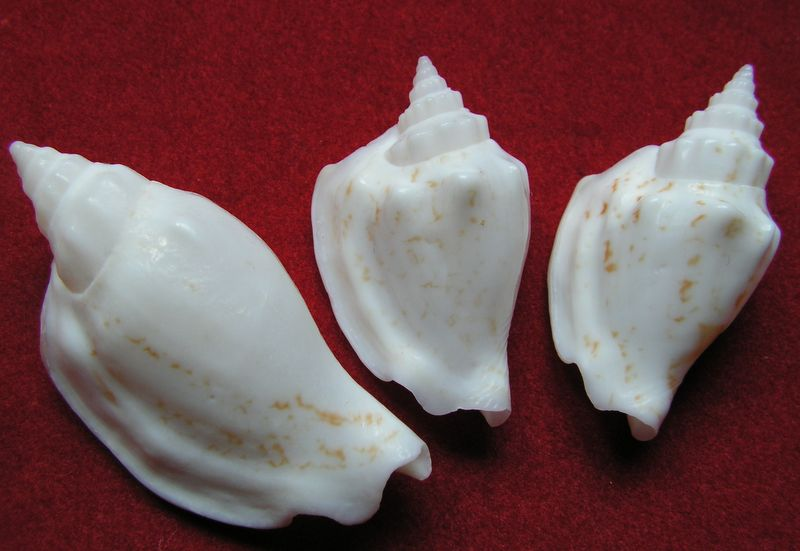 Strombidae Ministrombus variabilis (Swainson, 1820) Strvar15