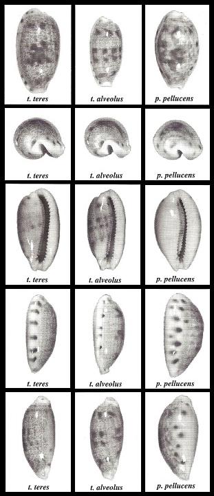 Talostolida pellucens pellucens (Melvill, 1888) vs f. alisonae (Burgess, 1983) Talost10