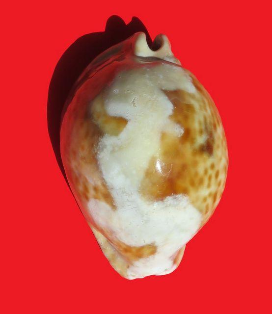 Trona Stercoraria très spéciale Tronst10