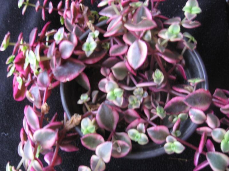 Qui connaît la crassula pedilosa ?[Crassula pellucida ssp. marginalis] Plante10