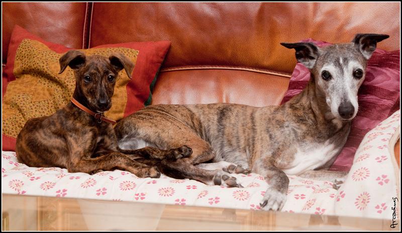 Elena vit avec Mirela Whippet... R800mi11