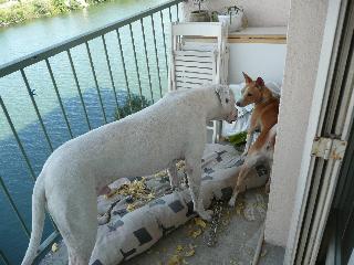 GROSSE URGENCE POUR CE DOGUE ARGENTIN LOF!!!! P1010310
