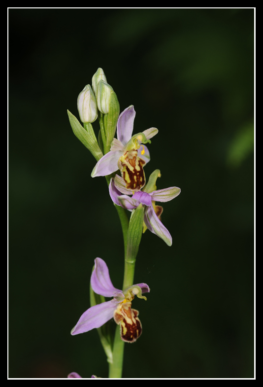 Ophrys apifera (Ophrys abeille ) Apifa10