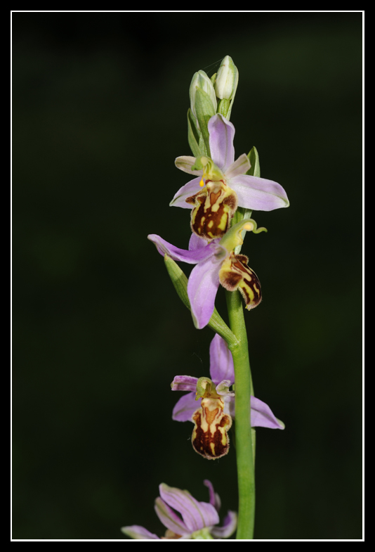 Ophrys apifera (Ophrys abeille ) Apifb10