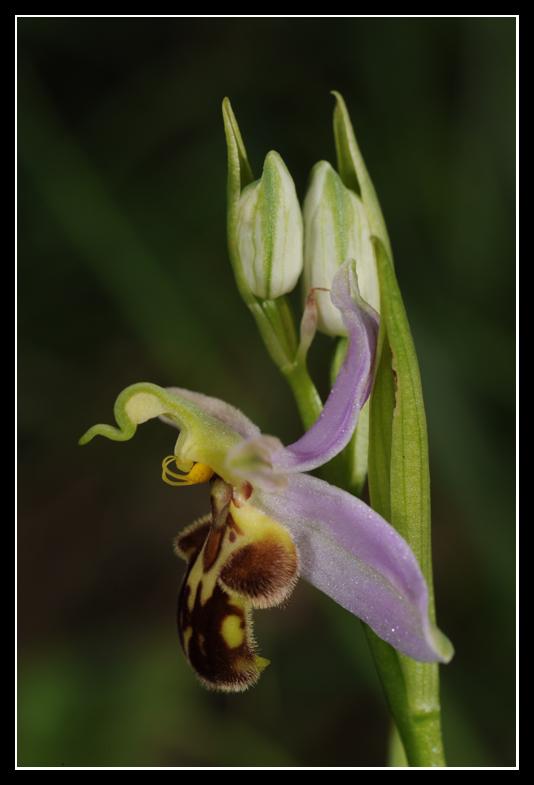 Ophrys apifera (Ophrys abeille ) Apifd10
