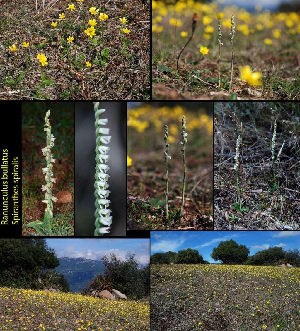 Spiranthes spiralis  ( Spiranthe d'automne ) Spiran10