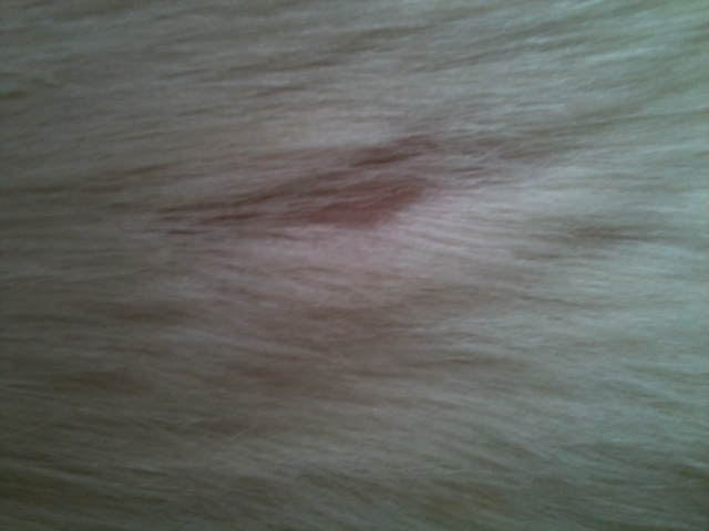 Dermatophilose à l'aide !! photos P2 Img_0410