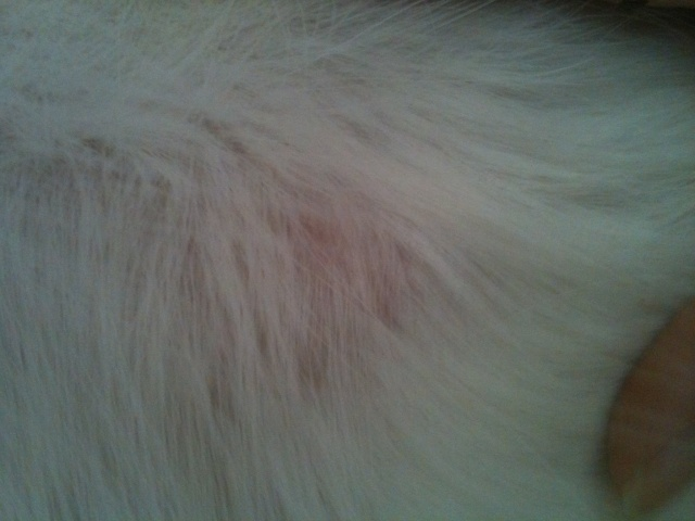 Dermatophilose à l'aide !! photos P2 Img_0411