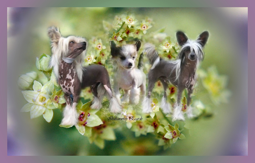Chinese Crested Dog L'univers du CC  .