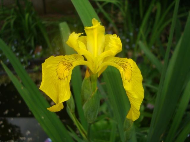 Iris botaniques Dsc05517