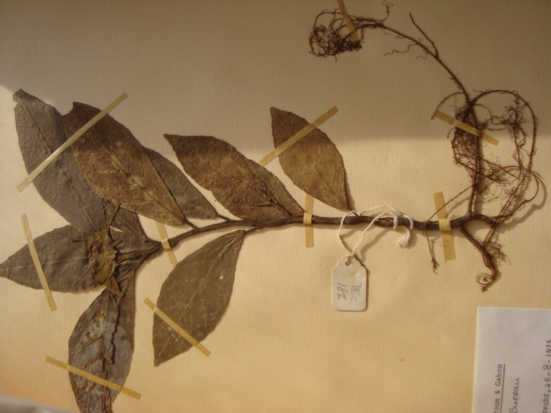 Dorstenia brésiliens et africains en herbier Herbie13