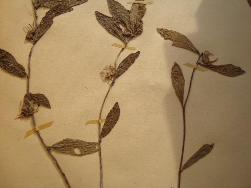 Dorstenia brésiliens et africains en herbier Herbie15