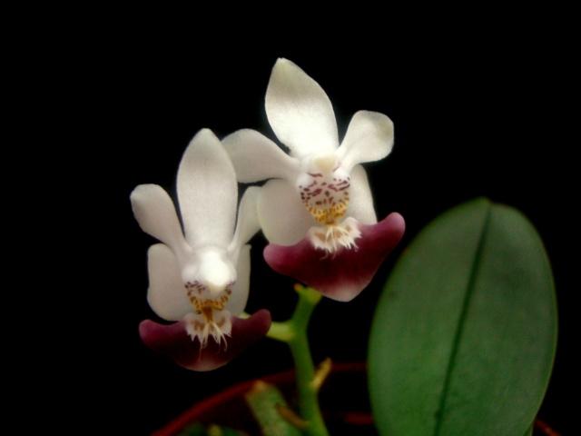 Phalaenopsis parishii Juin_211