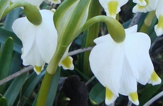 Le printemps est là, Leucojum vernum, Eranthis hyernalis Nancy_13