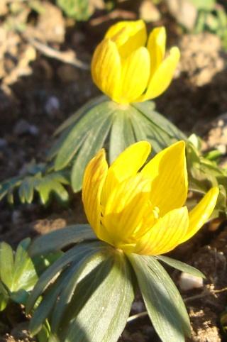 Le printemps est là, Leucojum vernum, Eranthis hyernalis Nancy_14