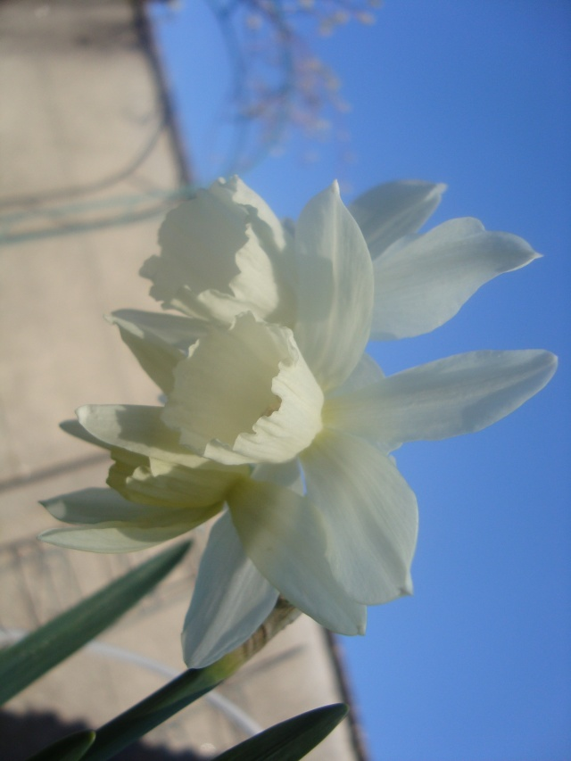 Narcisses tardifs Photo_16