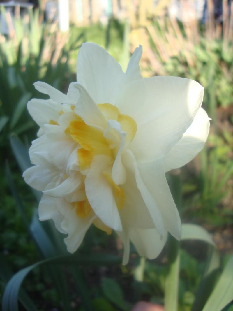 Narcisses tardifs Photo_17