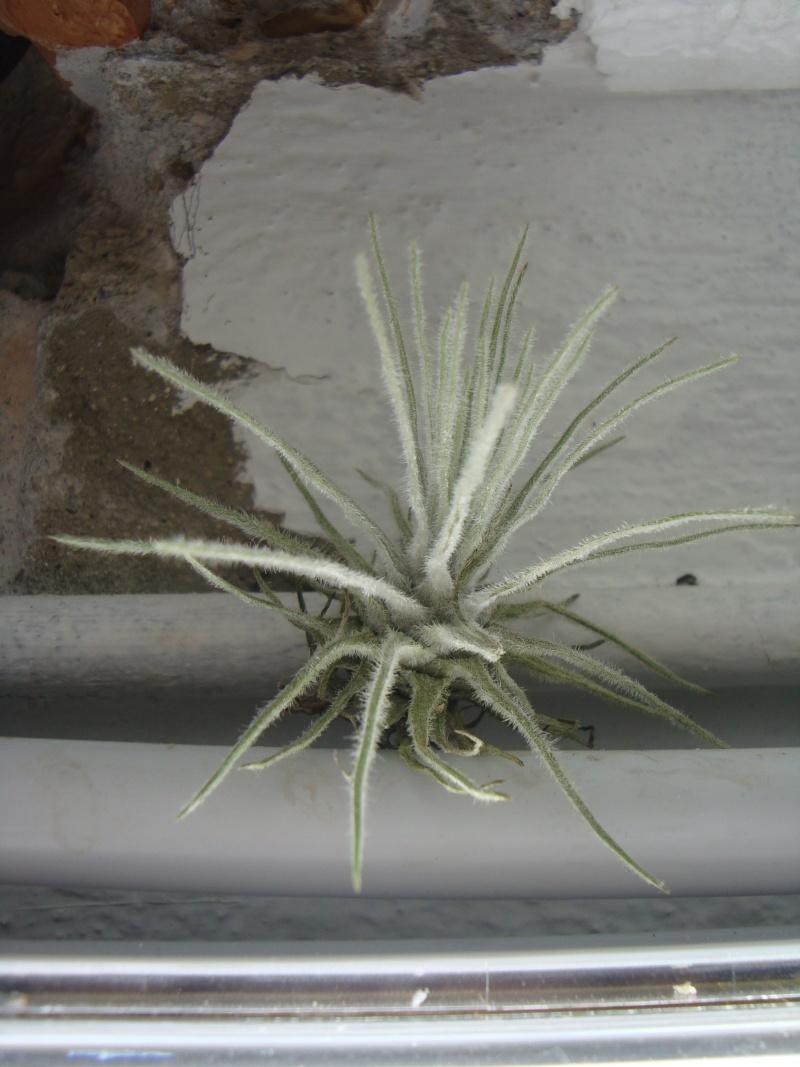Tillandsia tectorum Soirae23