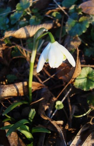 "Galanthus nivalis ""flore pleno"" Voyage10"