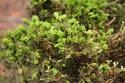 Rempotage et projet Picea abies 14-04-11